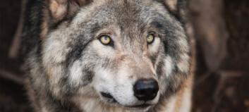 Midlertidig stans i felling av ulv