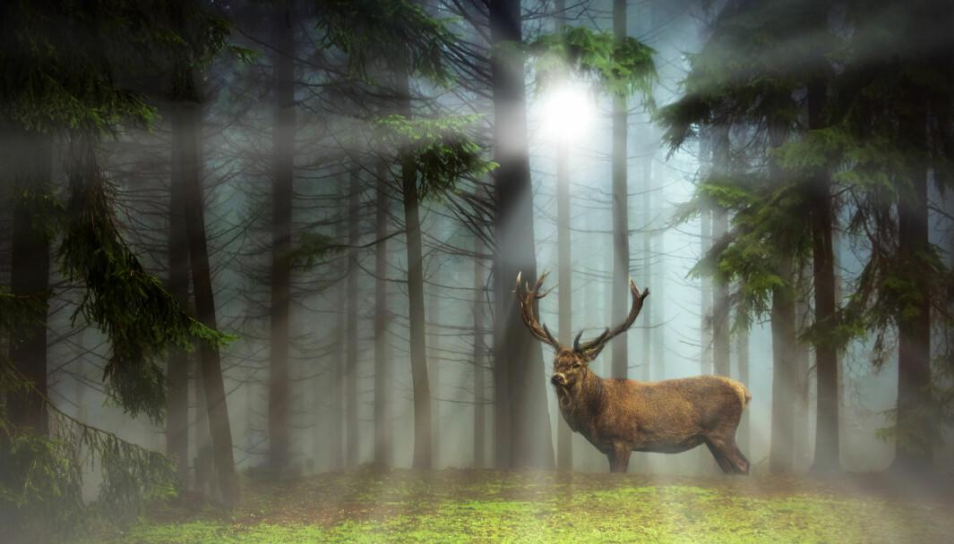 Aldri før har det blitt felt så mange hjort i Kongsvinger som i fjor.