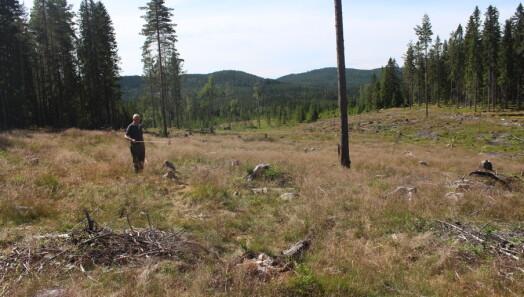 Mener utmarksbeitet bremser gjenskogingen: – Skogeierne kan ikke gjøre annet enn å fortvile