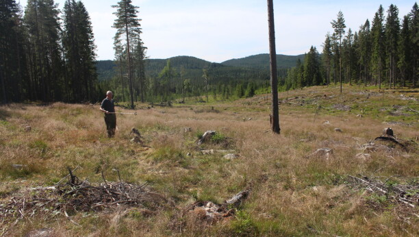 Mener utmarksbeitet bremser gjenskogingen:– Skogeierne kan ikke gjøre annet enn å fortvile