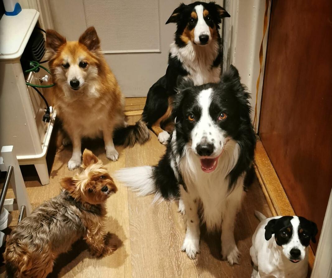 Artikkelforfatterens fem hunder, hvorav fire av dem er omplasseringshunder.
