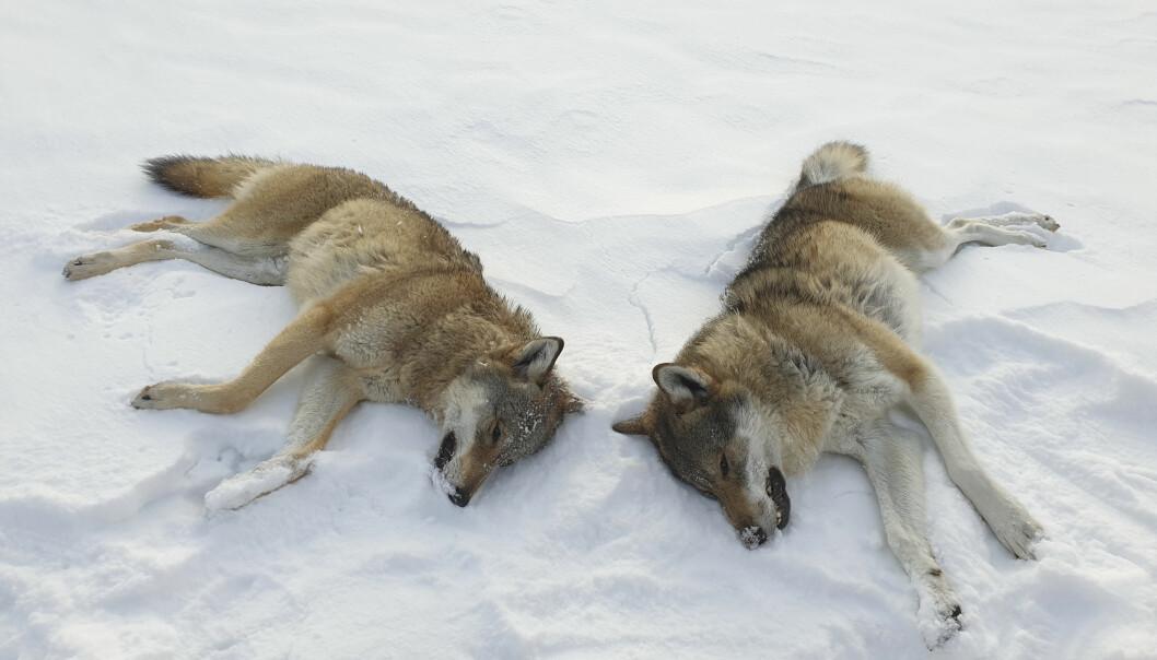 Sekretariatet for rovviltnemndene i Oslo, Viken og Innlandet innstiller på at inntil 24 ulver skal kunne felles under vinterens lisensjakt. Bildet viser to ulver som ble felt i Rendalen i 2019.