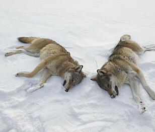 Innstiller på å felle ulv i vinter