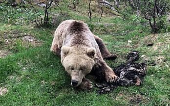 Ber elgjegerne samle bjørnebæsj
