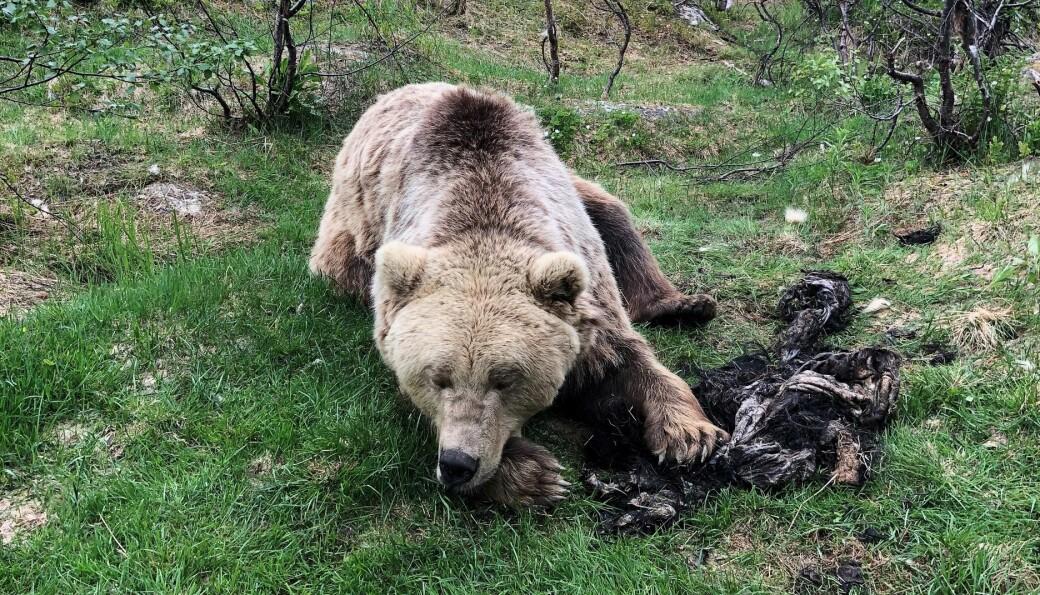 Når bjørner som denne bæsjer, oppfordres jegere til å ta vare på den.